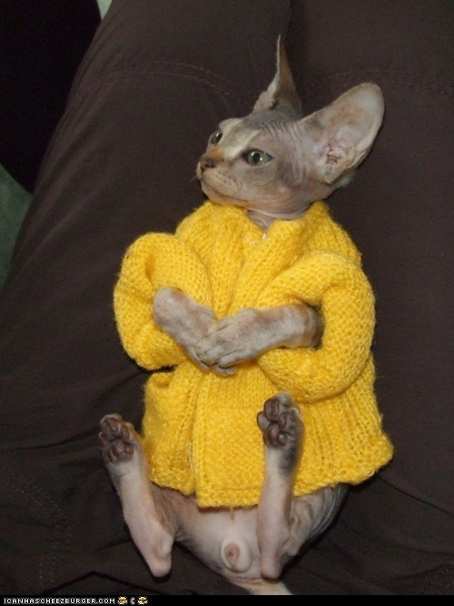 Cats,clothing,cyoot kitteh of teh day,devon rex,dressed up,fashion,kitten,sweaters,yellow