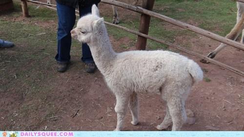 alpaca alpacas Babies baby fuzzy squee tiny - 6138867712