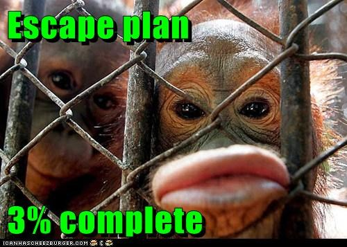 almost,complete,escape,lips,orangutan,orangutans,percentages,plan,start