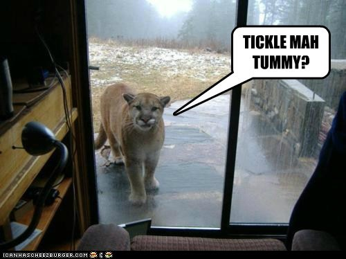 big cat,cougar,cute,kitty,let me in,tickle,tummy