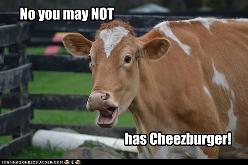 Beef cheezburger cow eating no offended scared - 6142474752