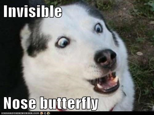 butterflies,butterfly,dogs,huskie,huskies,invisible,nose,nose butterfly