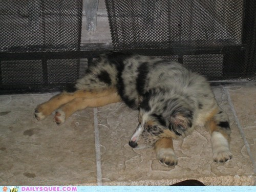 australian shepherd dogs nickel pets reader squees sleep tired - 6147202560