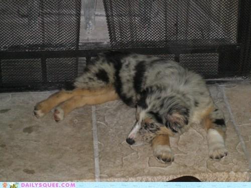 australian shepherd pets reader squees sleep tired - 6147202560