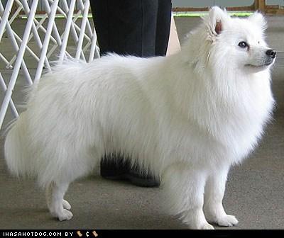 american eskimo dog goggie ob teh week winner - 6148898816
