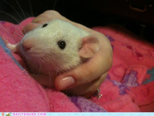 pets rat reader squees - 6149637888