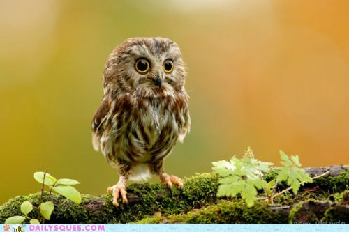 big eyes birds branch branches eyes Hall of Fame Owl owls squee startled who - 6149967616