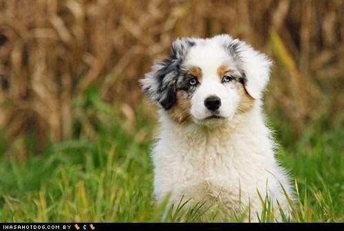 austrailian shepard cyoot puppy ob teh day puppy - 6150012160