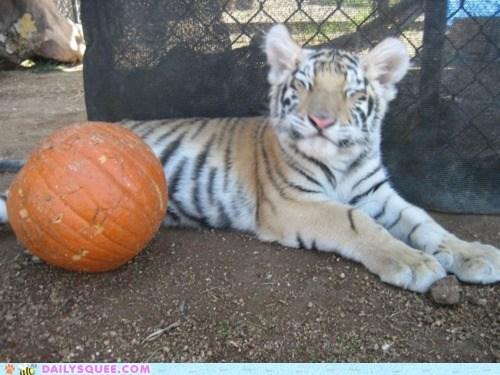 cub face pumpkins smile squee spree tiger
