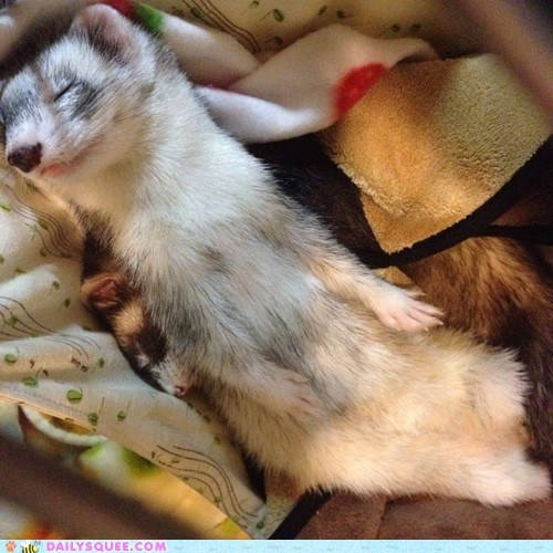beauty sleep ferret ferrets human-like pretty sleep sleeping squee weasels