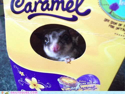 box,chocolate,hide,pets,reader squees,sugar glider
