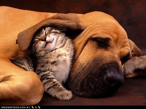 blood hound cat cuddles dogs kittehs r owr friends - 6153125888