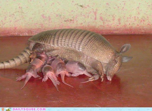 armadillo armadillos Babies creepicute feeding milk moms nursing - 6153863936