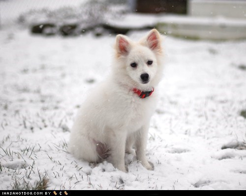 american eskimo dog goggie ob teh week snow