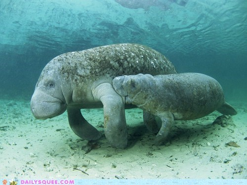 baby manatee mom mothers day nom swim - 6154837248