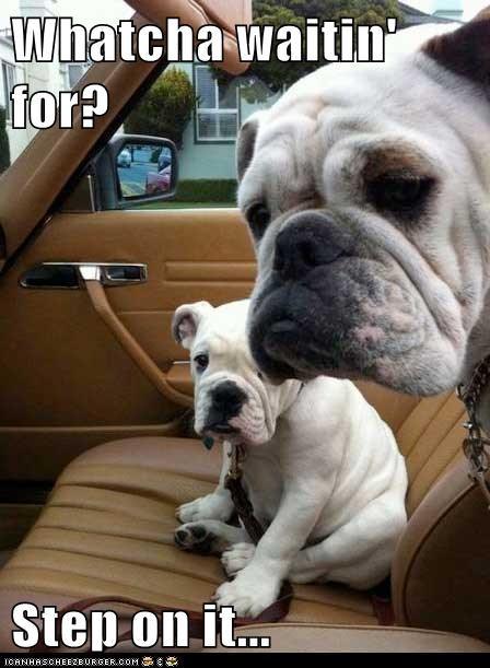 bulldog car dogs step on it - 6155395072