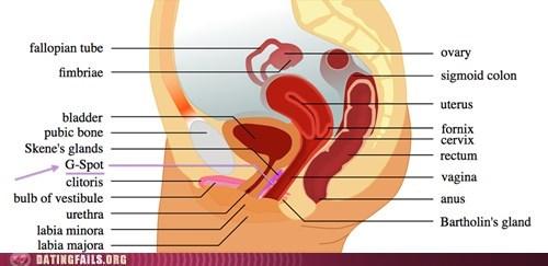 anatomy ladybits the g spot women - 6158172416