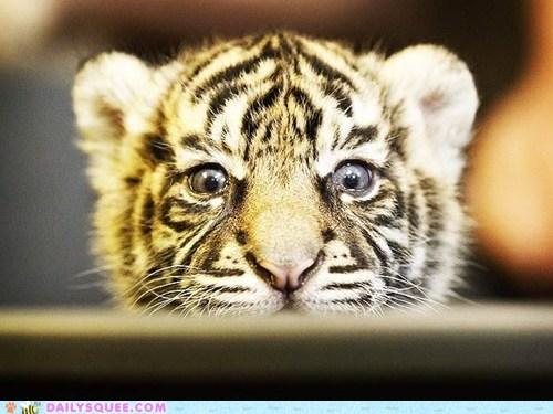 cub funny peek sneaky squee spree tiger - 6158931968