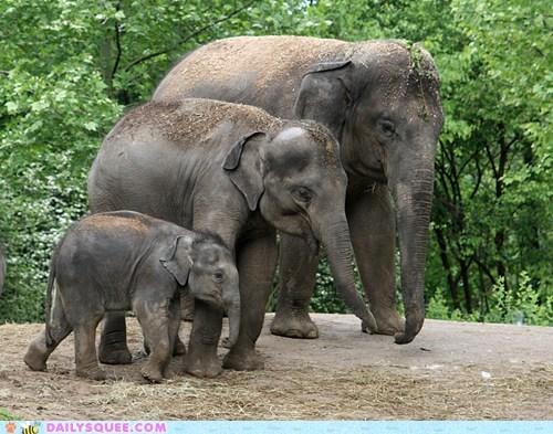 baby elephants indian elephants mom mothers day - 6160790784