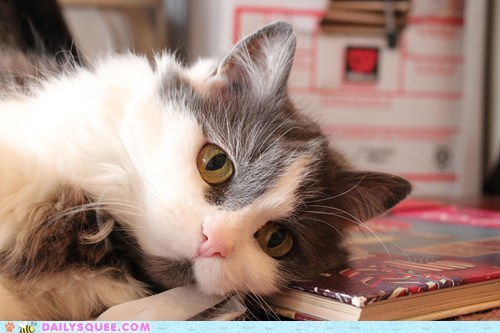 book,cat,eyes,Fluffy,pet,reader squee