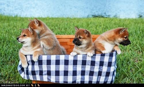 cyoot puppy ob teh day picnic puppy shiba inu - 6162216192