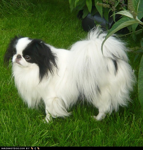 dogs face off goggie ob teh week japanese chin - 6162235904