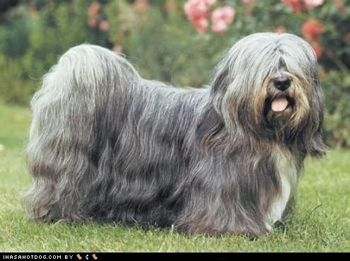dogs face off goggie ob teh week lhasa apso - 6162260992