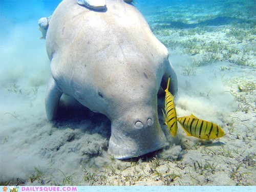 fish,manatee,swim,vacuum,water