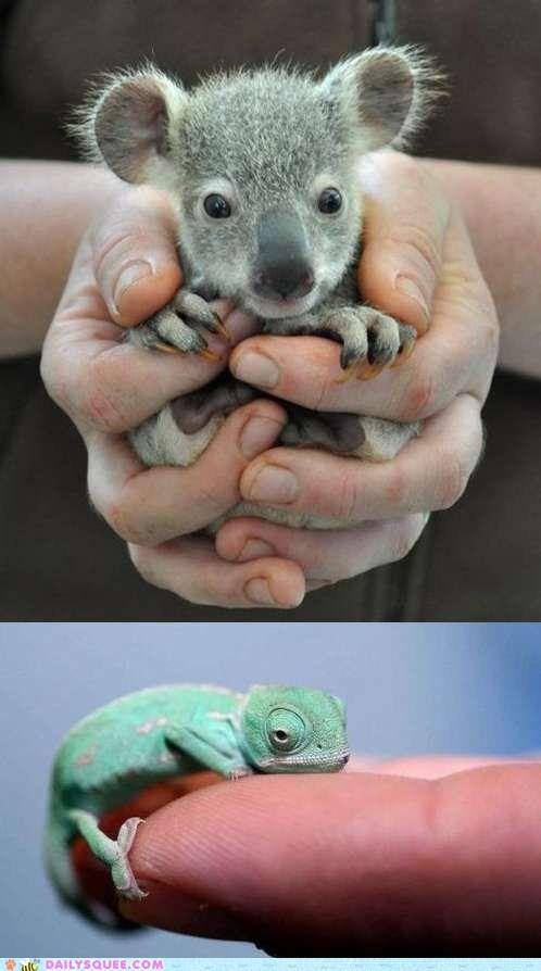 chameleon,contest,koala,lizard,marsupial,reptile,squee spree