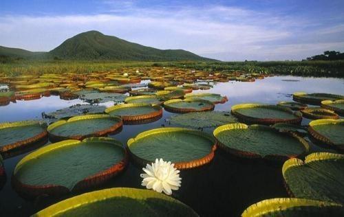 amazon brazil lily pads mountain - 6165273088