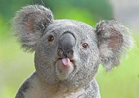 cute koala sticking its tongue out