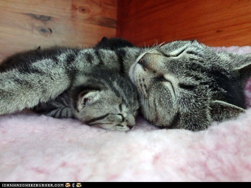 Cats cyoot kitteh of teh day kitten mama mom newborns sleeping spooning two cats