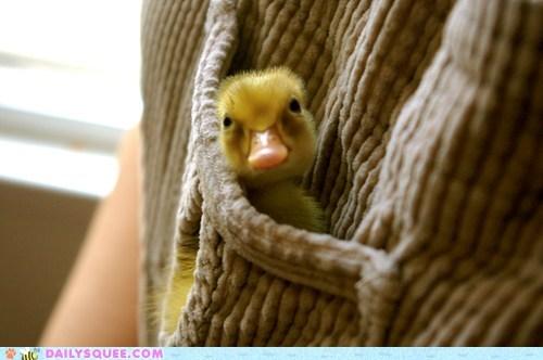 baby birds duckling ducklings ducks Fluffy pocket squee yellow - 6167002112