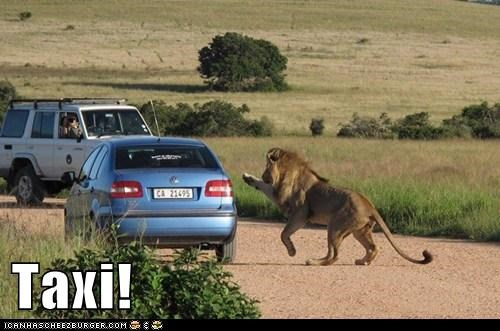 car hailing lion Sad scary taxi - 6167816448
