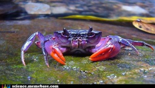 crab,fancy,Life Sciences,purple