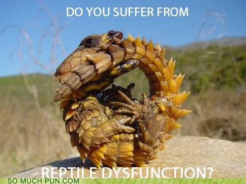 armadillo armadillo lizard ball dysfunction erectile reptile rolled up shape similar sounding suffer