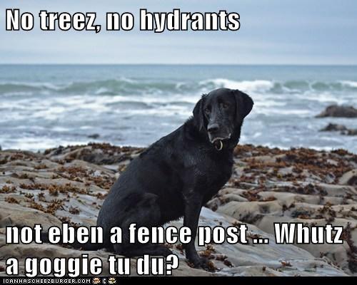 beach dogs lab wat do - 6177138432