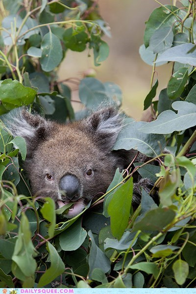 eat,eucalyptus,koala,leaves,munch,squee spree,tree