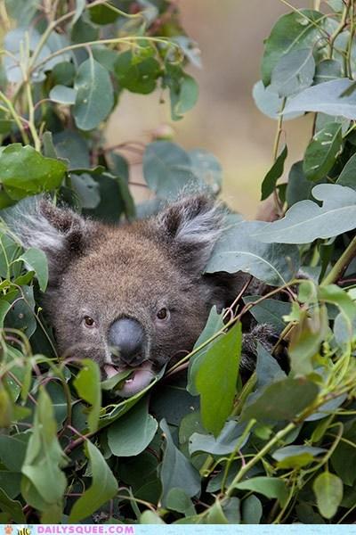 eat koala leaves squee spree tree - 6177318656
