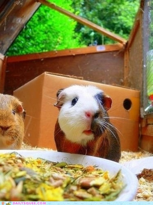 dinner food guests guinea pig inviting