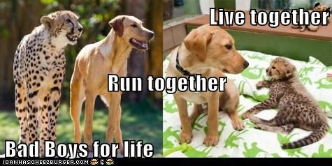 big cats cheetah cheetahs dogs for life friends friends forever Interspecies Love life together what breed - 6178627840