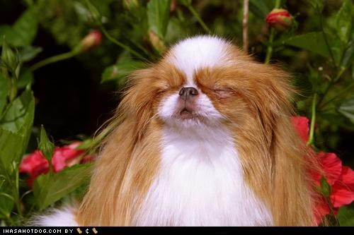 dogs goggie ob teh week japanese chin