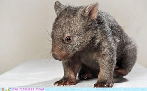 fuzzy marsupial shy Wombat