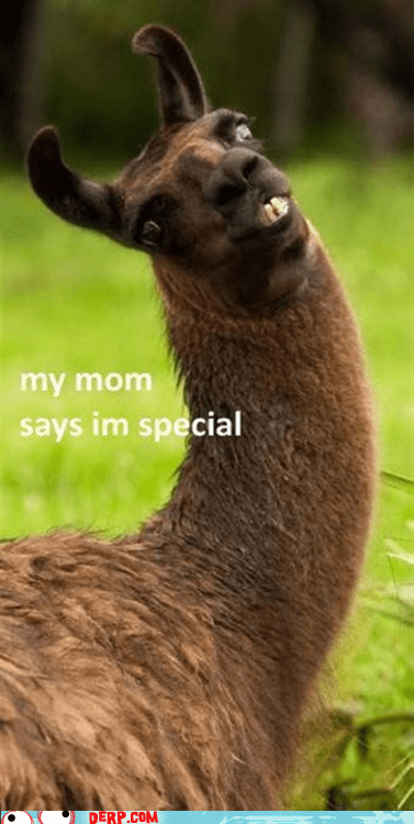 animal,best of week,derp,fabulous,llama