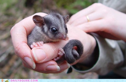 baby,curly,hand held,possum,tail