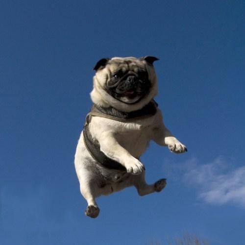 morning fluff pug trampoline - 6183508736