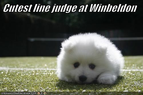 puppy,samoyed,tennis,wimbeldon