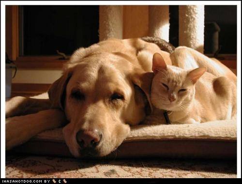 cat,dogs,golden lab,kittehs r owr friends,nap