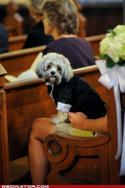 cute dogs funny wedding photos tuxedo - 6184180736
