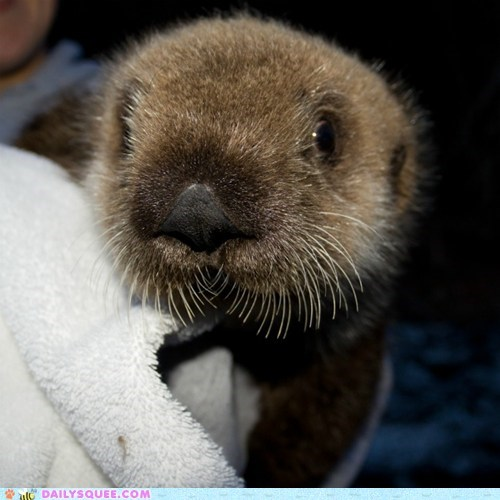 baby fuzz Hall of Fame otter otters squee towel towels whiskers